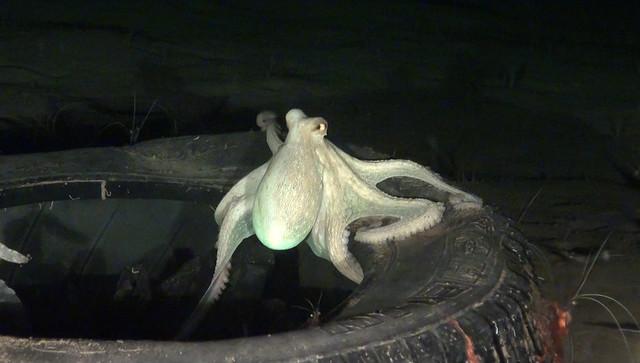 EUO © OCEANA 20161011 Octopus vulgaris