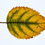 Leaf (HMM)