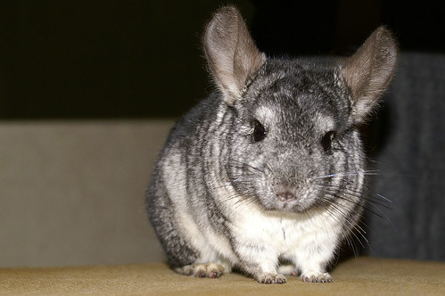 Chinchilla | by Filipe.Ramos