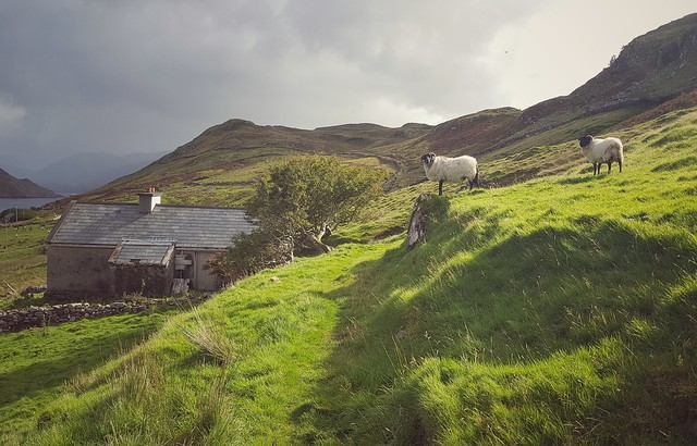 Sheep guarding the site of the Foher famine vlllage in north Connemara