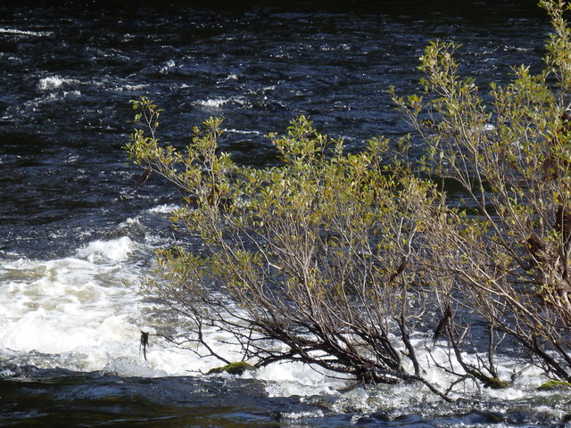 Plants growing in the River Ness