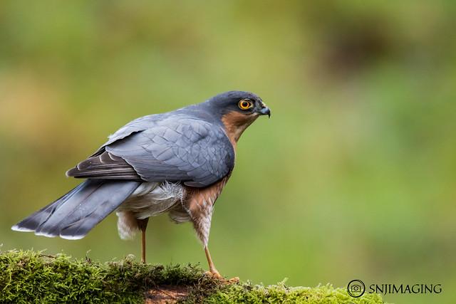 Adult Male Sparrowhawk