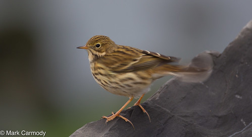 Meadow Pipit (Riabhóg Mhóna) (Anthus pratensis) | by Mark Carmody