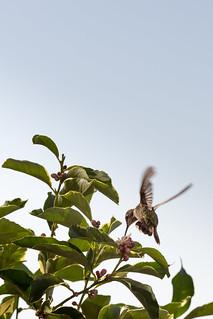 Coco Le Hummingbird