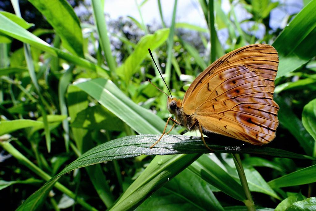 _SEP9689琺蛺蝶(紅擬豹斑蝶)Phalanta phalantha