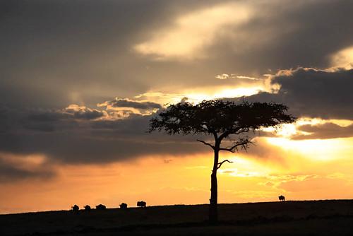 africa travel trees panorama nature animals landscapes kenya wildlife group sunsets landmark mara savannah herd masai scenics wildebeest africans masaimara kenyan famousplaces connochaetes