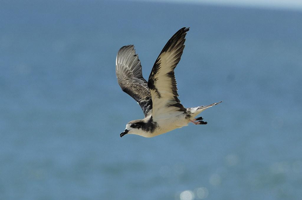 Hawaiian Petrel in flight Jim Denny