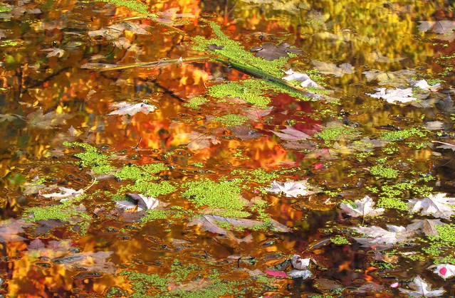 Duckweed Leaves in the Pond