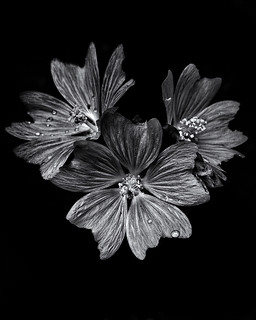 Backyard Flowers In Black And White 11 | by thelearningcurvedotca