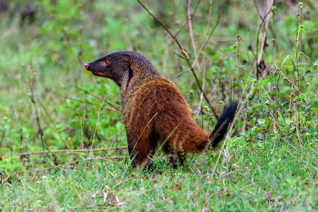 Indian Brown Mongoose (_DSF4335)