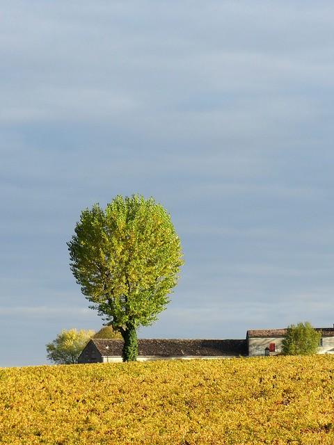 L'arbre dans les vignes
