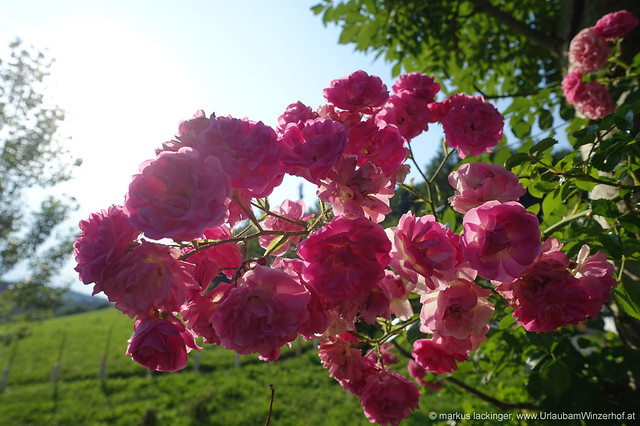 Blütenpracht am Weinberg