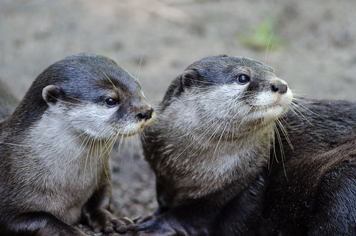 Oriental small-clawed otters | by Mathias Appel