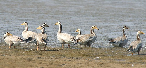 Bar-headed geese | by $udhakar