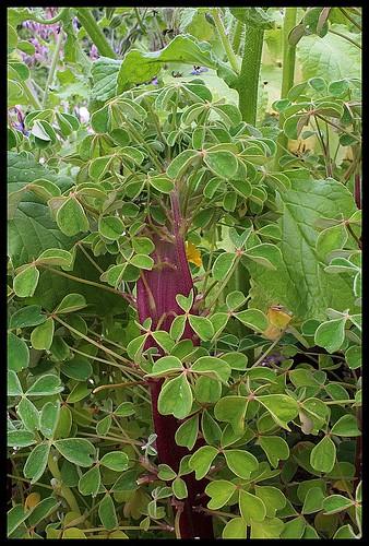 Oxalis tuberosa - oca du Pérou 21904567723_ede757e5e6