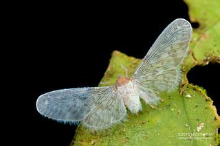 Derbid planthopper (Derbidae) - DSC_3541