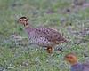 Coqui Francolin (Peliperdix coqui) by Lip Kee
