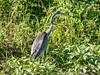 Black-Headed Heron (Immature) by Makgobokgobo