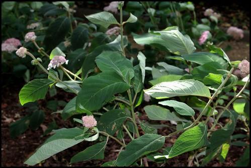 Hydrangea aspera (= H. villosa) - hortensia velu 21869418439_448dc0a2c7