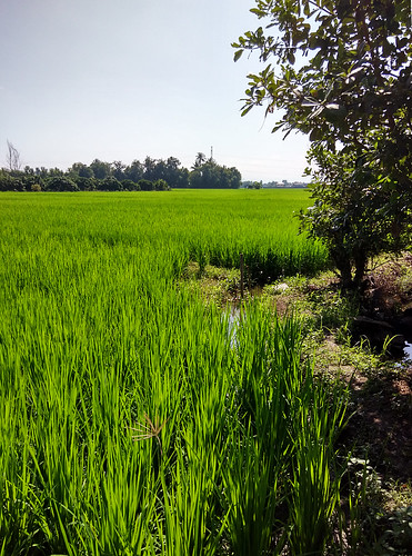 field thailand feld chiangmai ricefield reisfeld paddyfield bearbeitet 田