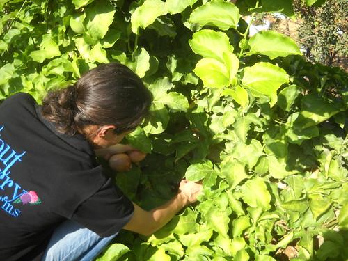 Sarah picking Passion Fruits Deirkoubel a Oct 17, 2015 | by toutberryfarms