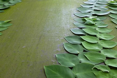 Shingle plant | by Jnzl's Photos