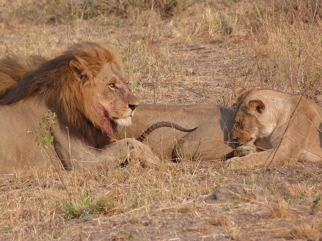 Leones alimentándose en Botswana (El león es miembro de los BIG FIVE de África)