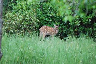 Axis axis DT [BD Sundarbans PN] (2)