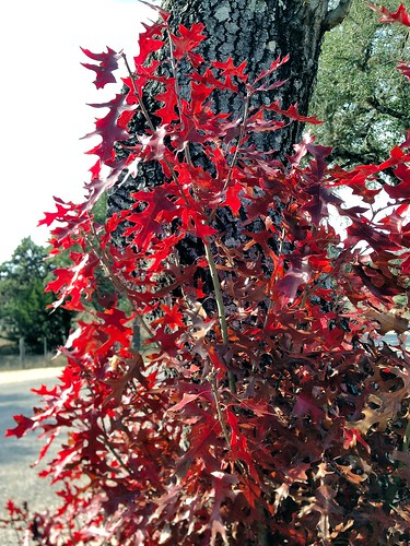 usa color fall apple leaves texas texashillcountry pipecreek banderacounty iphone3gs