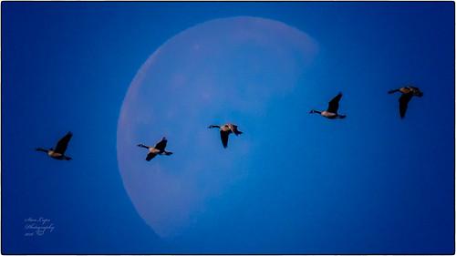 avians aviansinflight avianart avianphotography birds birdsinflight birdsasart birdphotography geese canadageese canadageeseinflight moon landscape outdoors outdoorphotography