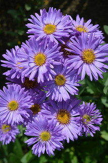 Aster amellus 'Nocturne' | by Avondale Nursery