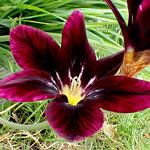 Burgundy Velvet Sparaxis