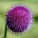 purple............