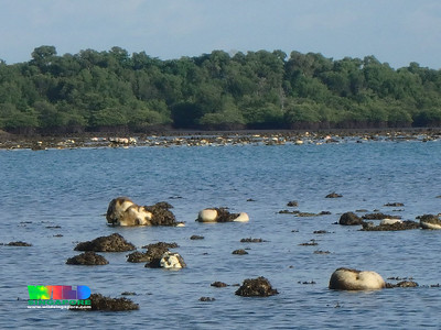 Mass coral bleaching at Terumbu Semakau, 9 Jul 2016
