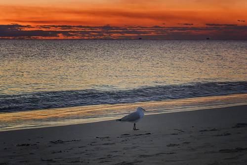 australia fremantle perth westernaustralia sunset dusk nikond810 bird seagull gull southbeach