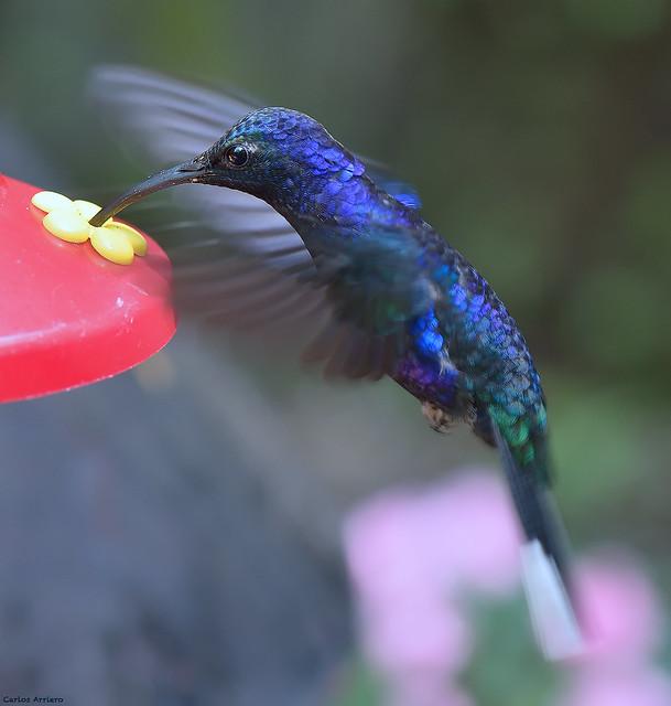 Blue Hummingbird.