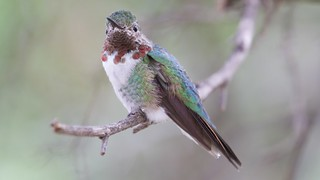 Broad-tailed Hummingbird (male) | Desert Museum | Tucson | AZ | 2015-10-12at12-21-0116 | by Bettina Arrigoni