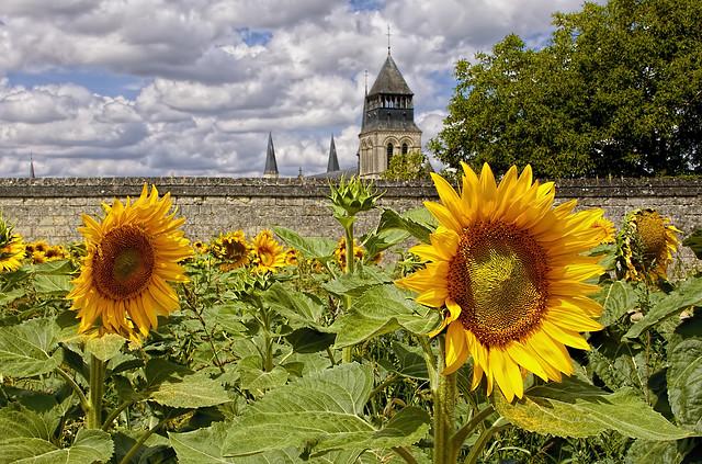 Girasoles en la Abadia de Fontevraud - Sunflowers in the abbey of Fontevraud - Fontevraud L'Abbaye Royale