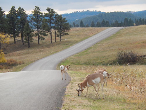 Custer State Park - pronghorns - 1