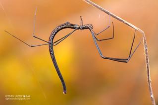 Comb-footed twig spider (Ariamnes sp.) - DSC_6928