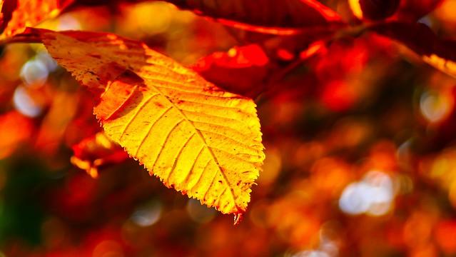 #FlickerFriday #AutumnLeaves(2)
