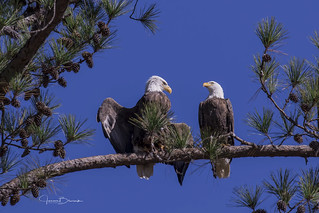 Berry Bald Eagle Pair 4 | by Jason Blalock
