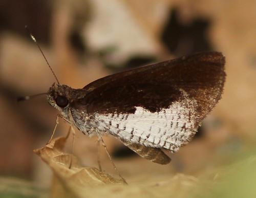 anthoptini butterfly ecuador hesperiidae hesperiinae jorupe loja richhoyer urracalodge