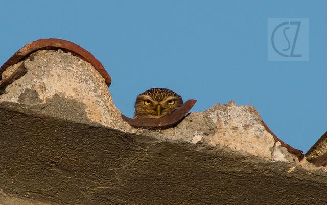 Athene noctua / Mochuelo común / Mussol comú / Little owl