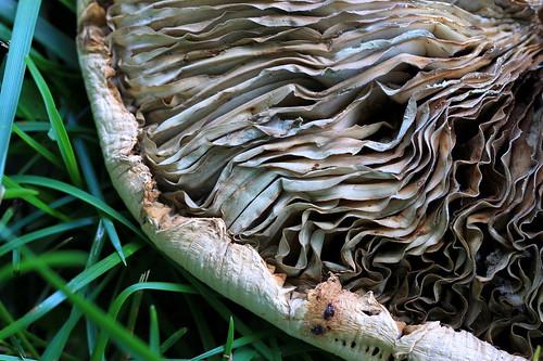 macro texture mushroom pattern outdoor macrophotography ashevillenc ashevillenorthcarolina chlorophyllummolybdites greensporedlepiota