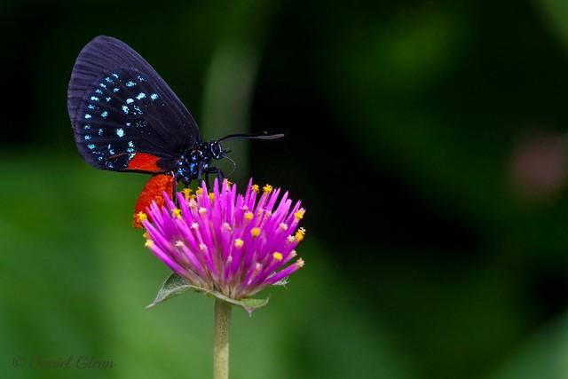 Atala (Eumaeus atala) butterfly