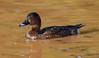 Hardhead (aka White-Eyed Duck) (Aythya australis) (45 – 60 centimetres) (female).01 by Geoff Whalan