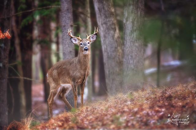 8 point Whitetail Buck