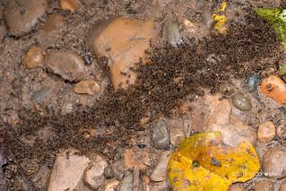 Rain ants (cf. Labidus praedator) - DSC_4035