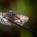 Print: Skipper Butterflies